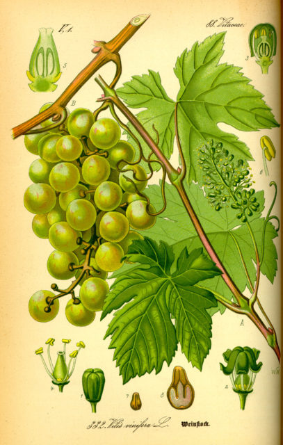 Illustration_Vitis_vinifera0